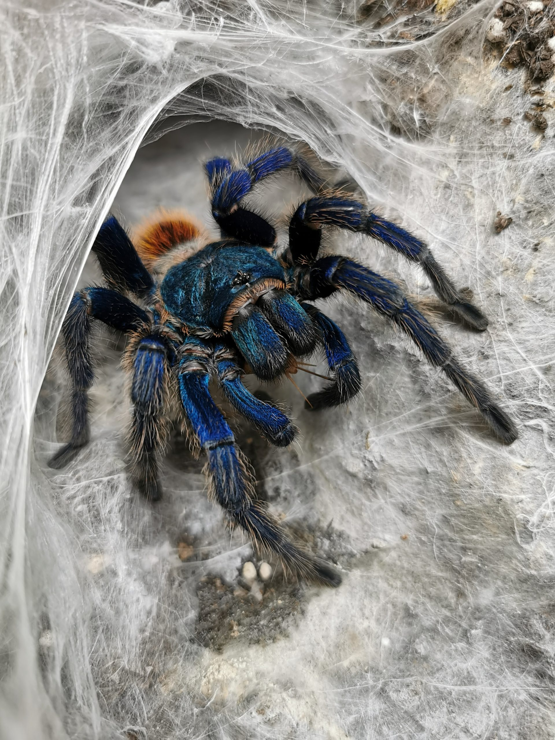 Learn The Facts about Cobalt Blue Tarantula Caring