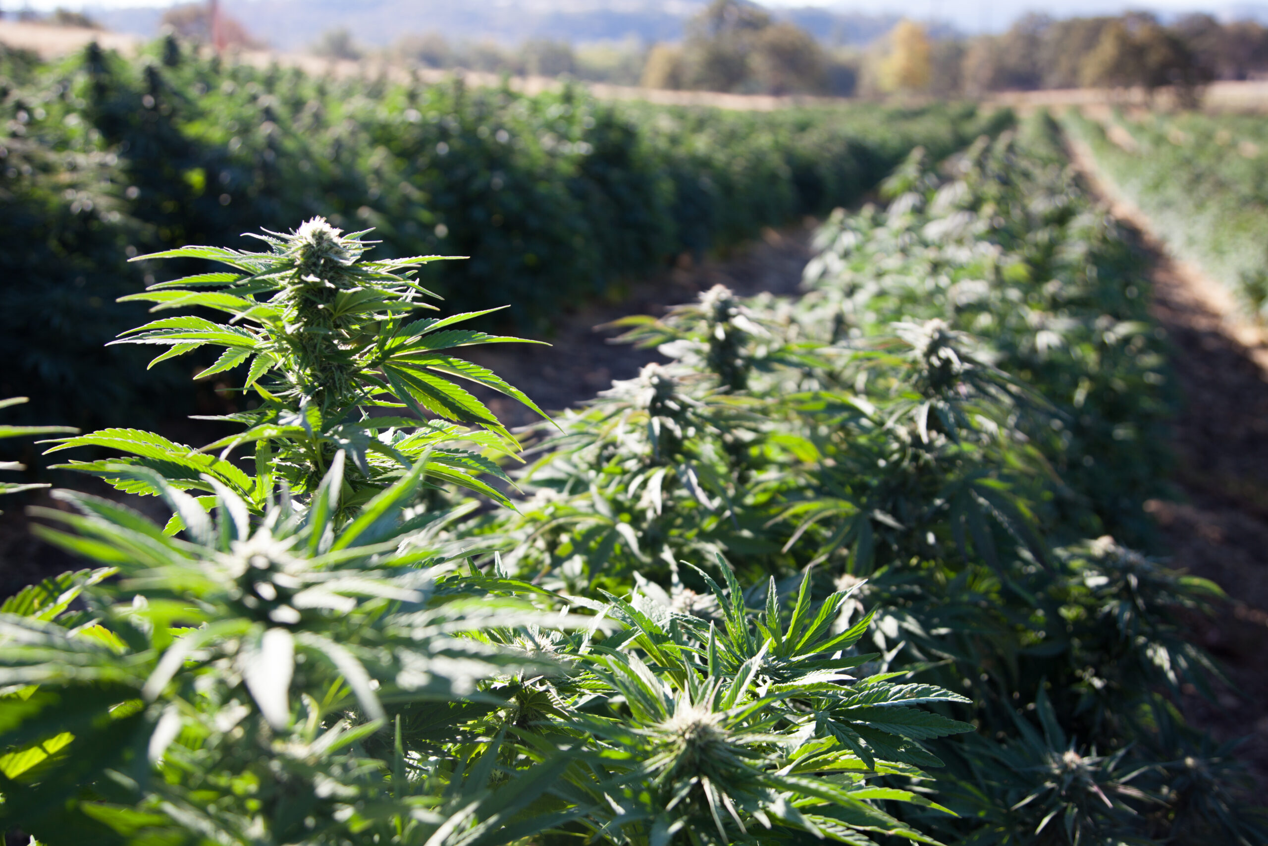 Why Delta-8 THC is Acclaimed to be the Cannabis Industry's New Favorite Cannabinoid?