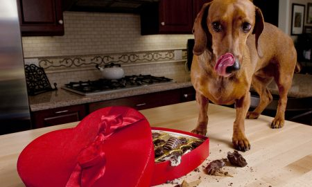Chocolate Poisoning: How to Treat Your Dogs at Home